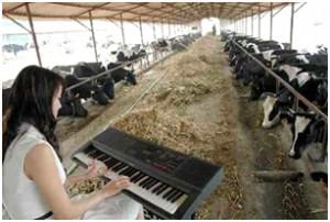 Kobieta gra na keyboardzie dla krów
